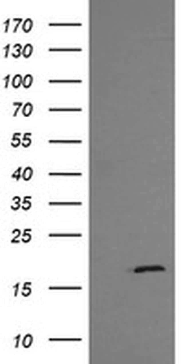 GADD45G Antibody in Western Blot (WB)