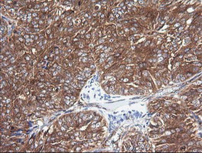 COX6C Antibody in Immunohistochemistry (Paraffin) (IHC (P))