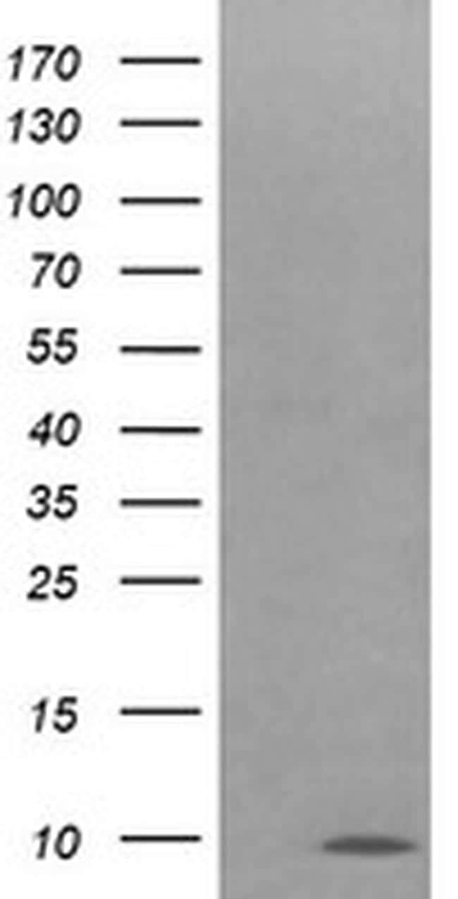 COX6C Antibody in Western Blot (WB)