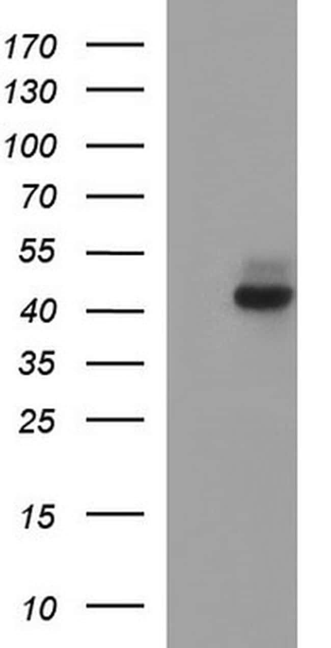 Necdin Antibody in Western Blot (WB)