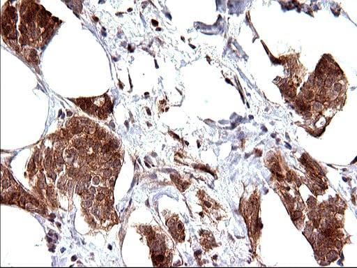 COX4NB Antibody in Immunohistochemistry (Paraffin) (IHC (P))