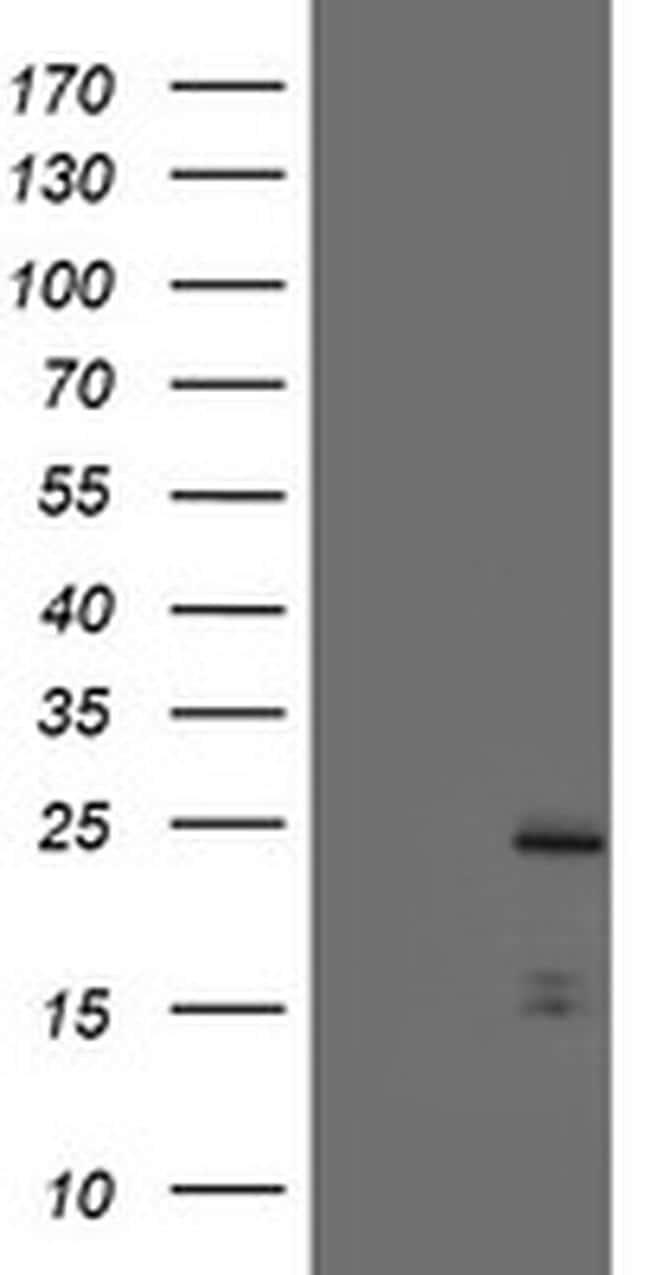 PYCARD Antibody in Western Blot (WB)