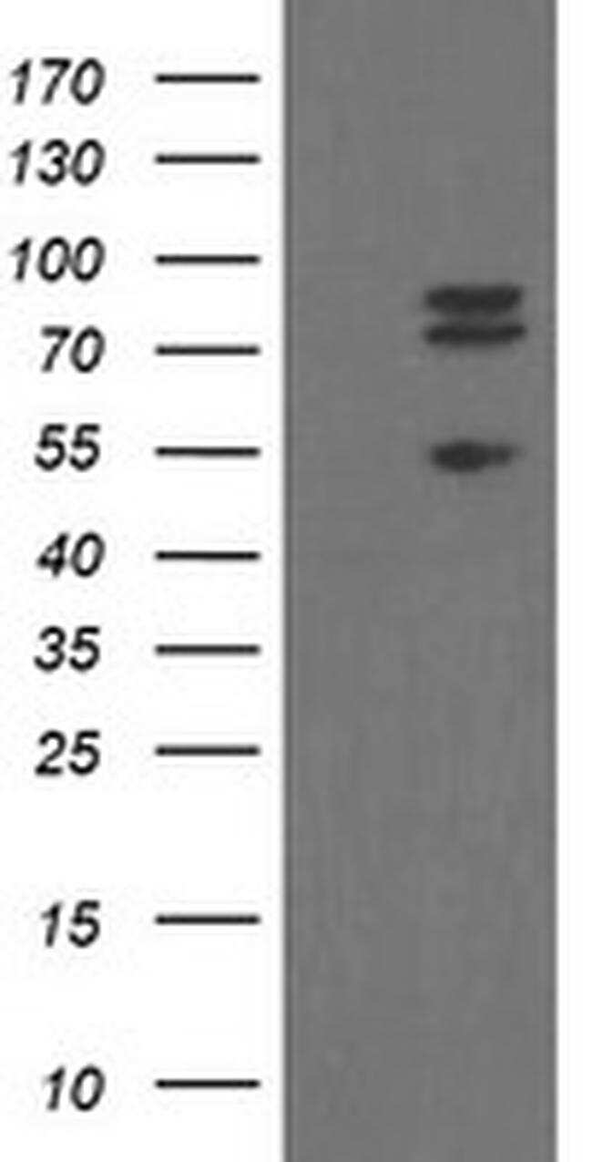 TLE1 Antibody in Western Blot (WB)