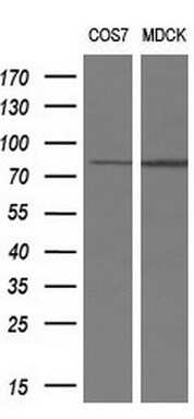 RIP1 Antibody in Western Blot (WB)