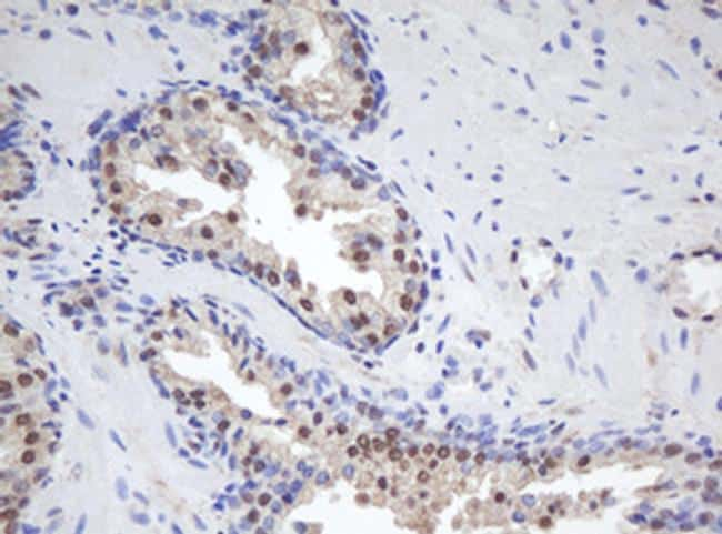 MORF4 Antibody in Immunohistochemistry (Paraffin) (IHC (P))