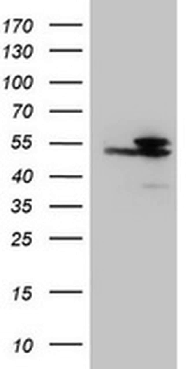 IDH1 Antibody in Western Blot (WB)