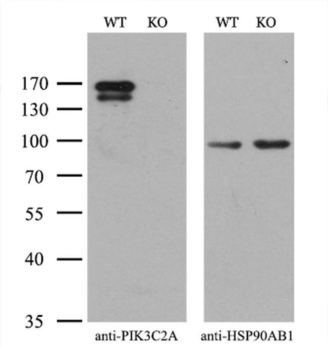 PIK3C2A Antibody in Western Blot (WB)