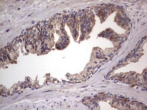 DOCK8 Antibody in Immunohistochemistry (Paraffin) (IHC (P))