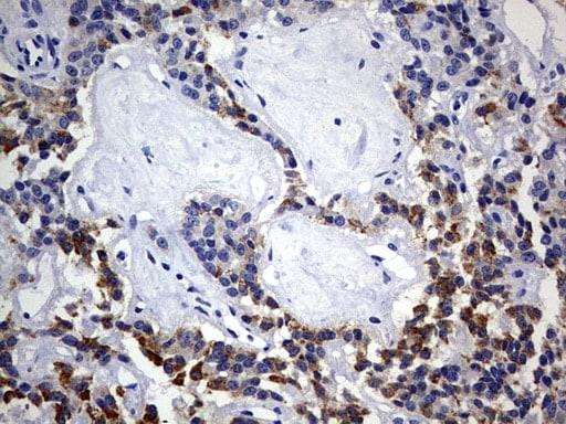 ISCU Antibody in Immunohistochemistry (Paraffin) (IHC (P))