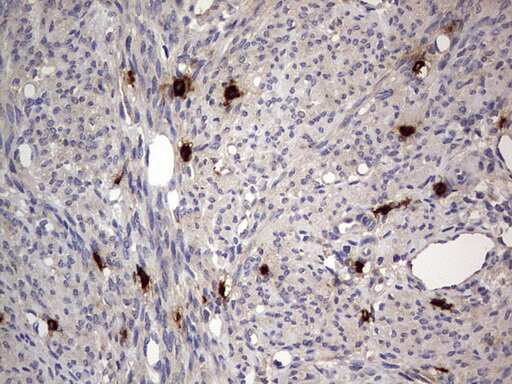 ASM Antibody in Immunohistochemistry (Paraffin) (IHC (P))
