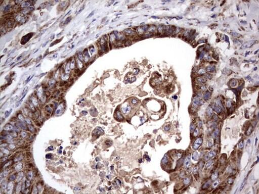 ACE2 Antibody in Immunohistochemistry (Paraffin) (IHC (P))