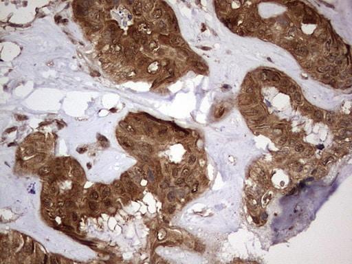 FAF1 Antibody in Immunohistochemistry (Paraffin) (IHC (P))