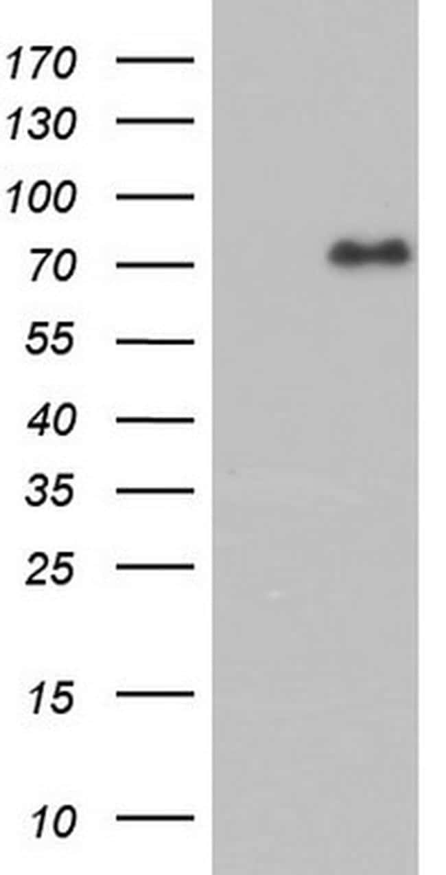 FAF1 Antibody in Western Blot (WB)