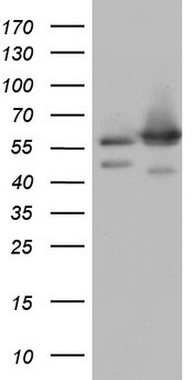 NAE1 Antibody in Western Blot (WB)