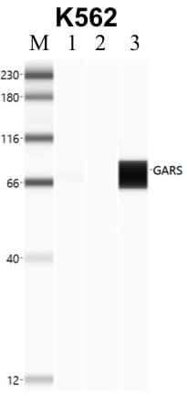 GARS Antibody in RNA Immunoprecipitation (RIP)