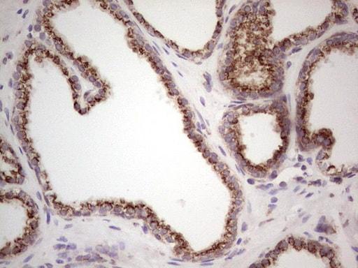 BHLH3 Antibody in Immunohistochemistry (Paraffin) (IHC (P))