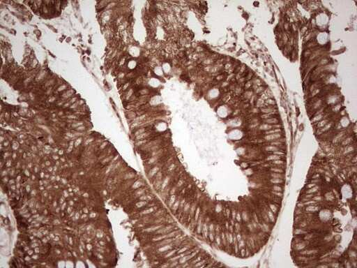 WIBG Antibody in Immunohistochemistry (Paraffin) (IHC (P))