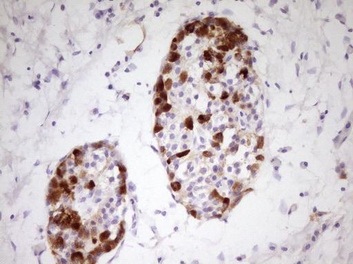 Apolipoprotein H Antibody in Immunohistochemistry (Paraffin) (IHC (P))