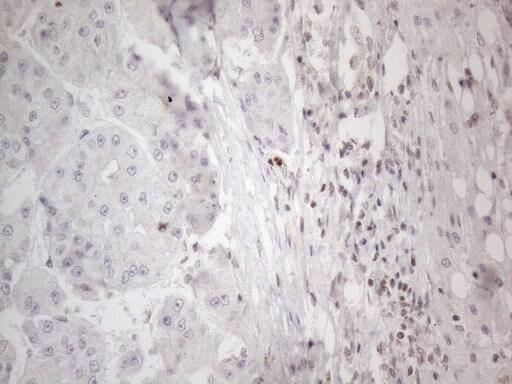NR2C2 Antibody in Immunohistochemistry (Paraffin) (IHC (P))