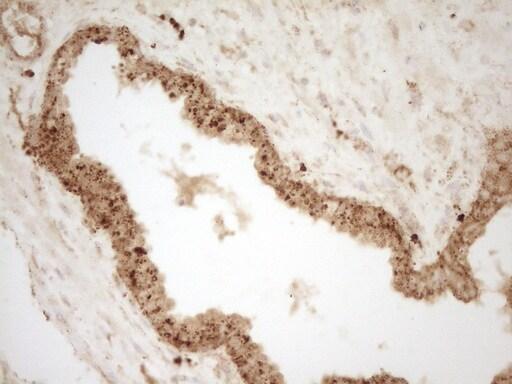 Renin Antibody in Immunohistochemistry (Paraffin) (IHC (P))