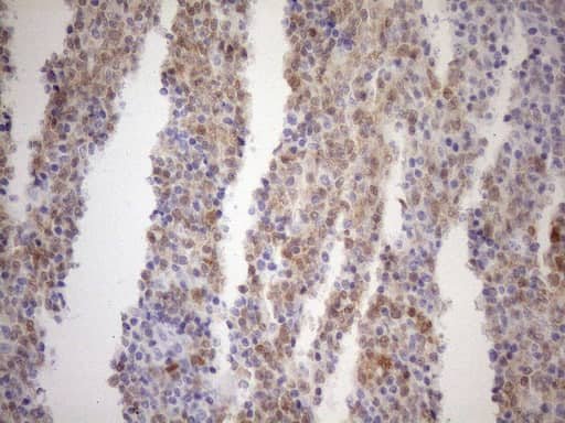 BOB-1 Antibody in Immunohistochemistry (Paraffin) (IHC (P))