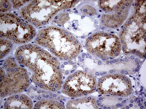 C4orf36 Antibody in Immunohistochemistry (Paraffin) (IHC (P))