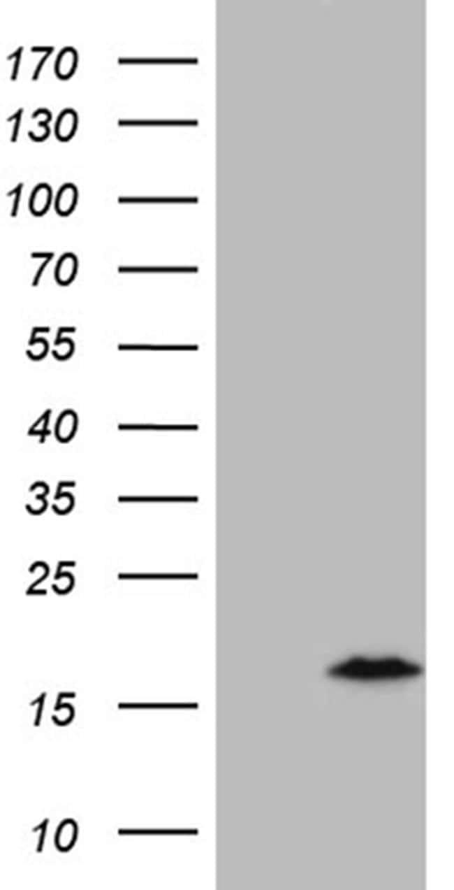 C4orf36 Antibody in Western Blot (WB)