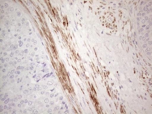 SPATA22 Antibody in Immunohistochemistry (Paraffin) (IHC (P))
