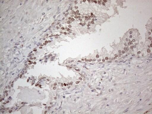 HMGB4 Antibody in Immunohistochemistry (Paraffin) (IHC (P))