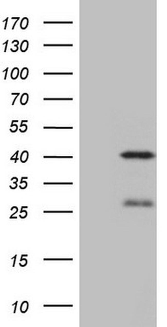 NGDN Antibody in Western Blot (WB)