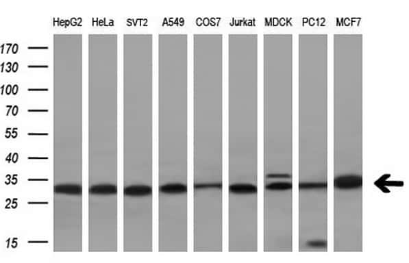 VAPA Antibody in Western Blot (WB)