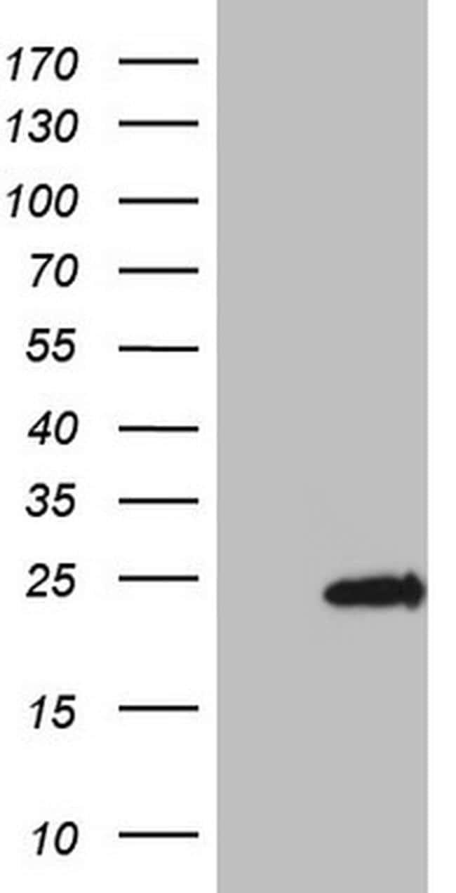 OPA3 Antibody in Western Blot (WB)