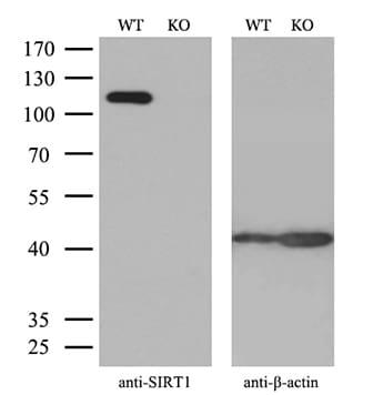 SIRT1 Antibody