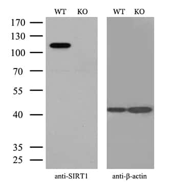 SIRT1 Antibody in Knockout