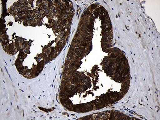RNase11 Antibody in Immunohistochemistry (Paraffin) (IHC (P))
