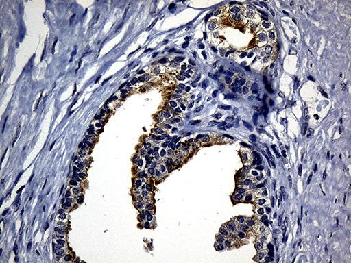 SYTL4 Antibody in Immunohistochemistry (Paraffin) (IHC (P))