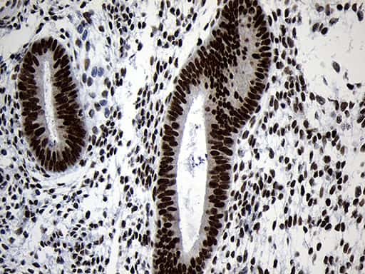 NABP1 Antibody in Immunohistochemistry (Paraffin) (IHC (P))
