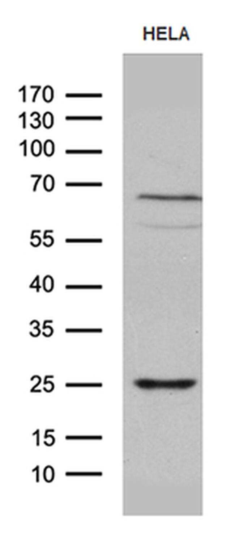 NABP1 Antibody in Western Blot (WB)