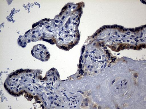 Argonaute 1 Antibody in Immunohistochemistry (Paraffin) (IHC (P))