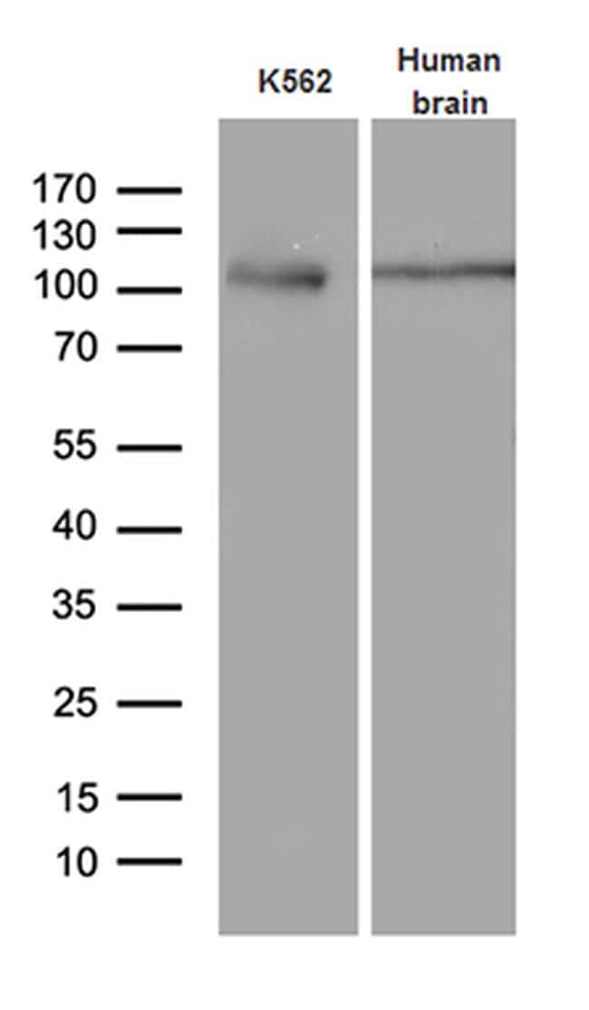 Argonaute 1 Antibody in Western Blot (WB)
