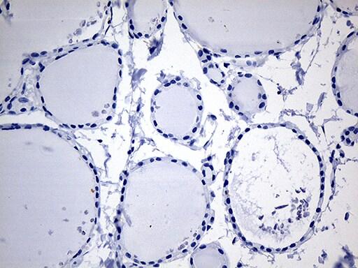 Cytohesin 4 Antibody in Immunohistochemistry (Paraffin) (IHC (P))