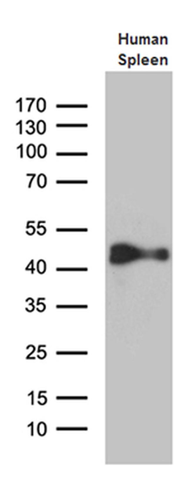 Cytohesin 4 Antibody in Western Blot (WB)