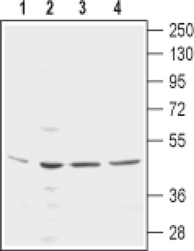 KCNN4 (extracellular) Antibody in Western Blot (WB)