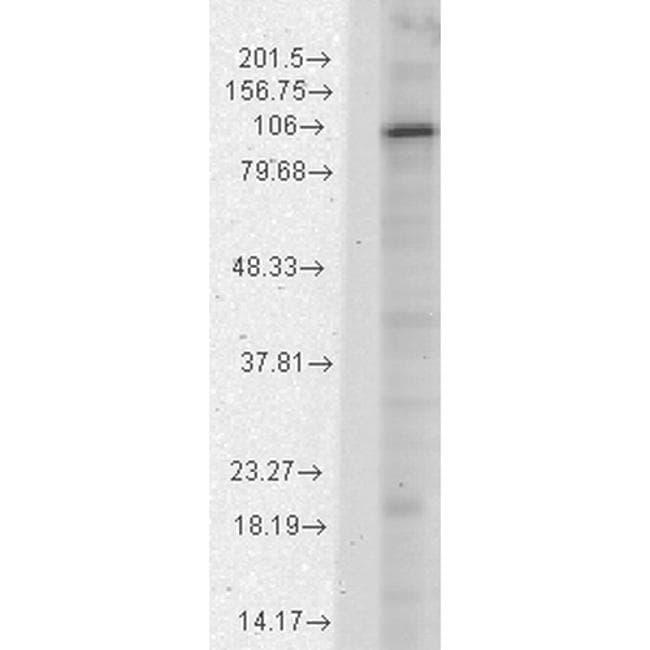 HCN1 Antibody in Western Blot (WB)