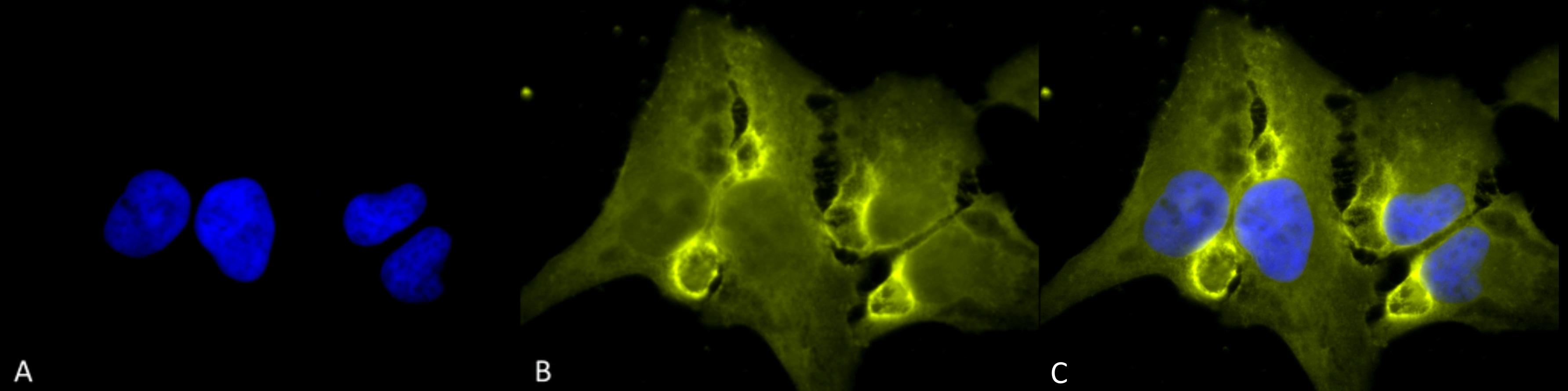 HIF1AN Antibody in Immunofluorescence (IF)