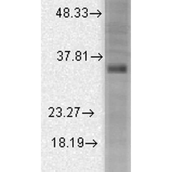 KCNMB3 Antibody in Western Blot (WB)