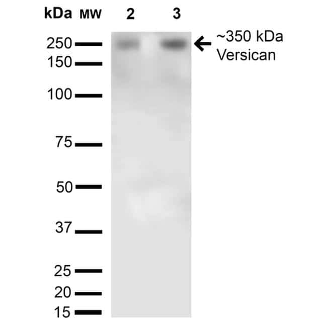 Versican Antibody in Western Blot (WB)