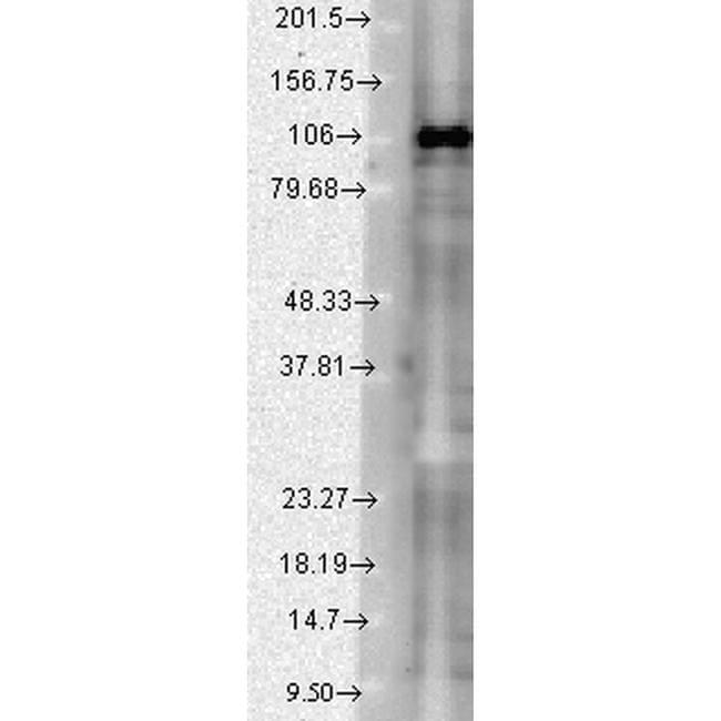 SAP102 Antibody in Western Blot (WB)