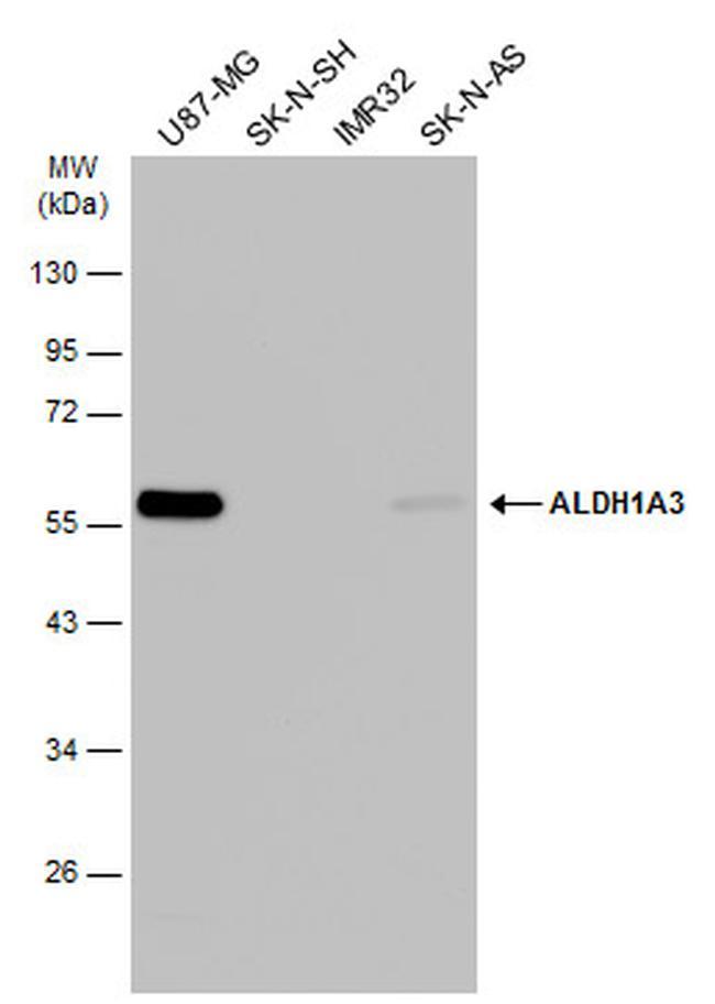 ALDH1A3 Antibody in Western Blot (WB)