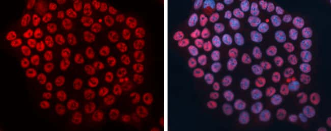 DCK Antibody in Immunofluorescence (IF)